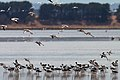 Banded Stilts and Red-necked Avocets (23869742793).jpg