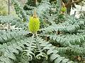 Banksia grandis-IMG 9318.JPG