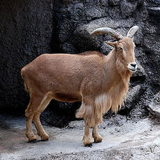 Barbary Sheep Tennoji.jpg