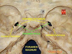 Foramen ovale (skull) - Image: Base of skull 12