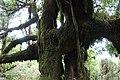 Baumveteran im Laurisilva von Madeira zwischen Paul da Serra und Fanal.jpg