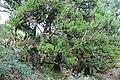 Baumveteran im Laurisilva von Madeira zwischen Paul da Serra und Fanal VIII.jpg