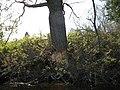 Beaver chewed elm - panoramio.jpg