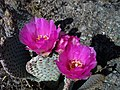 Beavertail Cactus 2008 - panoramio.jpg