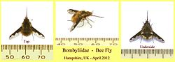 definition of bombyliidae