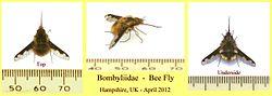 definition of bombyliidae