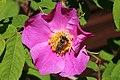 Bee Haukipudas Oulu 20190624 02.jpg