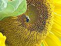 Bee on sunflower (28819159141).jpg