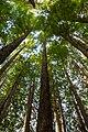 Beech Forest (AU), Great Otway National Park, Californian Redwoods -- 2019 -- 1404.jpg