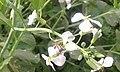 Bees on daikon.jpg