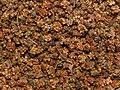 Beet seeds crop.jpg