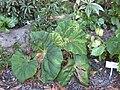Begonia megaptera-IMG 1203 rbgs10dec.jpg
