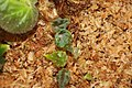 Begonia sp. Lita e.g. 5.jpg