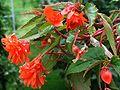 Begonia zwisająca Begonia tuberhybrida 2.JPG