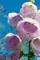 Bell flower close up.jpg