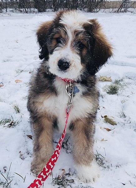 Bernedoodle-Dog-Breed