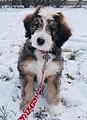 Bernedoodle Dog.jpg