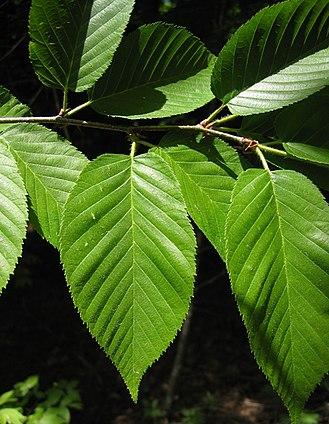 Betula alleghaniensis - Yellow birch foliage