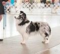 Bi-Blue Merle Shetland Sheepdog.jpg
