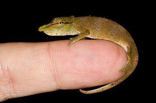 <i>Calumma nasutum</i> Species of lizard
