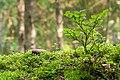 Bilberry bush and moss in Gullmarsskogen ravine.jpg