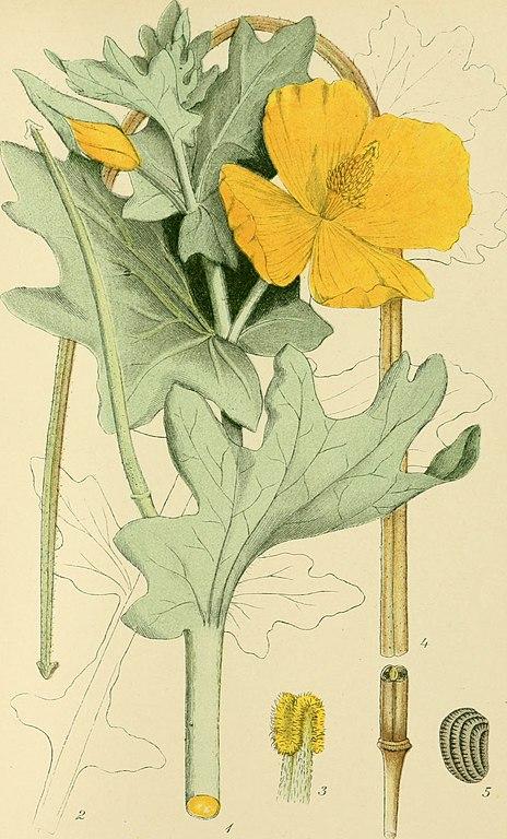 Dessin botanique du pavot cornu par Lindman et Carl Axel Magnus