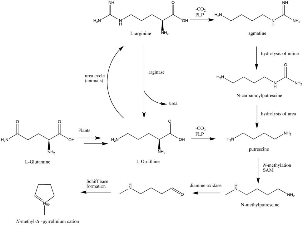 Biosynthesis of N-methyl-pyrrolinium cation