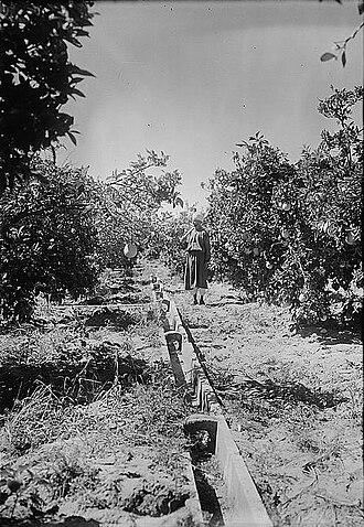 Jaffa orange - Orange groves at Bir Salim