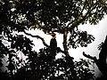 Bird Great Hornbill Buceros bicornis IMG 8659 11.jpg