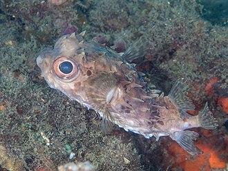 Cyclichthys - Image: Birdbeak burrfish (Cyclichthys orbicularis) (26596942147)