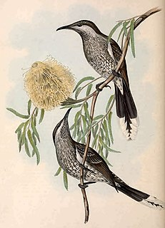 Western wattlebird species of bird