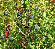 Blåbær 2.jpg