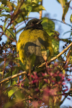 Black-and-Yellow Silky-flycatcher -Central Highlands - Costa Rica MG 6908 (26603413112).jpg