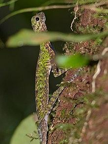 Black-barbed Flying Dragon (Draco melanopogon) male (15316304310).jpg