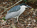 Black-crowned Night Heron (Nycticorax nycticorax) RWD2.jpg