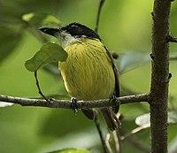 Black-headed Tody-Flycatcher - Darién - Panama (48444476207).jpg