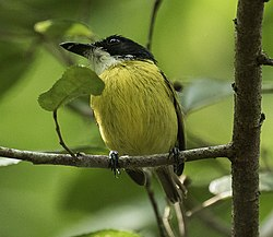 Black-headed Tody-Flycatcher - Darién - Panama (48444476207).jpg