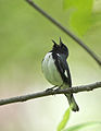Black-throated Blue Warbler (5036635599).jpg