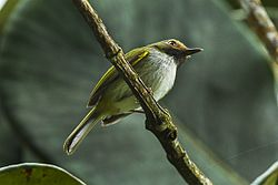 Black-throated Tody-Tyrant - South Ecuador S4E2085 (16872179772).jpg