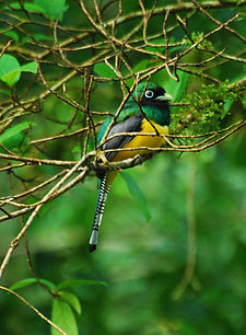 Black-throated Trogon.jpg