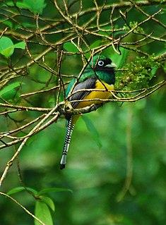 Black-throated trogon species of bird