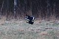 Black Grouse (3531801394).jpg