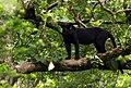 Black Panther - India.jpg