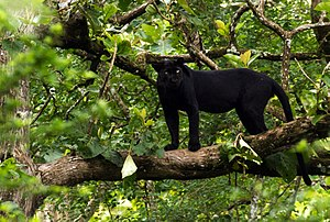 Black panther - A melanistic Indian leopard in Nagarhole National Park
