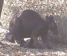 Black Wallaroo.JPG