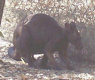 Black wallaroo Species of marsupial