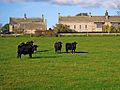 Black cattle, Whalton (geograph 2149478).jpg