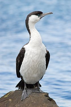Black faced cormorant.jpg