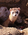 Black footed ferret (7013874797).jpg