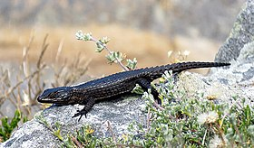 Black girdled lizard 2.jpg